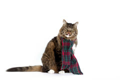 Cat Wearing Plaid Scarf. A brown tabby wearing green and red plaid scarf showing displeasure with snarky look and sticking out tongue Royalty Free Stock Image