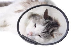 Cat wearing a protective. Elizabethan collar (also known as a buster collar) after a surgical operation Stock Images