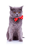 Cat wearing a red bow tie Stock Image
