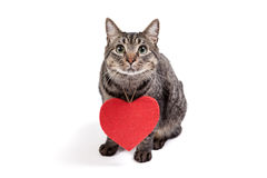 Cat Wearing Red Heart Stock Images