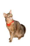 Cat wearing red heart on ribbon Stock Image