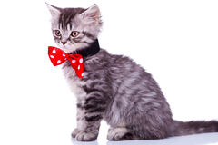Cat wearing red neck bow Stock Photo