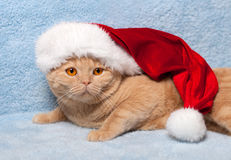Cat wearing Santa's. Creamy cat wearing Santa's hat on a blue background royalty free stock photography