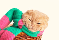 Cat wearing scarf Stock Photos