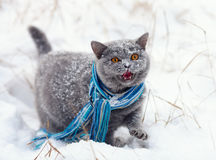 Cat wearing scarf walking on the snow Stock Photo