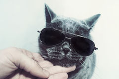Cat wearing sunglasses Royalty Free Stock Photography