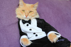 Cat wearing tuxedo Stock Image