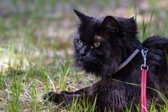Cat Wearing un cablaggio Fotografie Stock