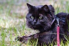 Cat Wearing un cablaggio Fotografia Stock