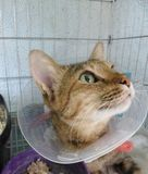 Cat wearing veterinary collar in animal hospital Stock Images