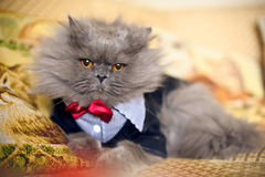 Cat in a wedding dress with bow tie Royalty Free Stock Image