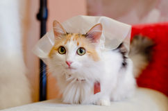 Cat in a wedding veil. Beautiful colorful big-eyed cat in a wedding veil Stock Photography
