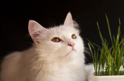 Cat and wheat Stock Photography