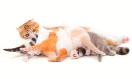 The cat which feeds the kittens Stock Image
