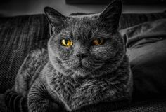 Cat, Whiskers, Black, Black And White royalty free stock photo