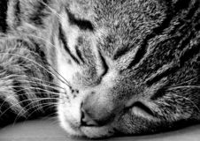 Cat, Whiskers, Black, Black And White royalty free stock photos