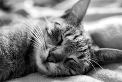 Cat, Whiskers, Black And White, Mammal Stock Images