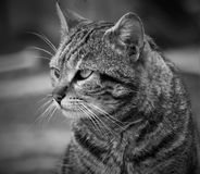 Cat, Whiskers, Black And White, Mammal royalty free stock photo