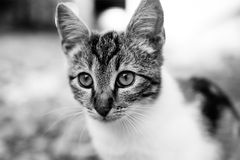 Cat, Whiskers, Face, Black And White Stock Images