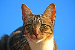 Cat, Whiskers, Face, Fauna royalty free stock image