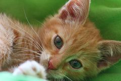 Cat, Whiskers, Face, Fauna royalty free stock photography