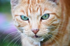 Cat, Whiskers, Face, Fauna stock photo