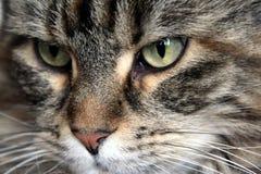 Cat, Whiskers, Mammal, Eye Royalty Free Stock Photo