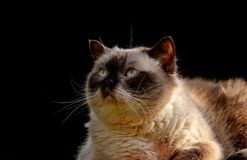 Cat, Whiskers, Small To Medium Sized Cats, Cat Like Mammal Royalty Free Stock Photography