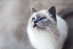 Cat, Whiskers, Small To Medium Sized Cats, Mammal Royalty Free Stock Photos
