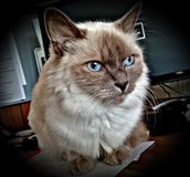 Cat, Whiskers, Small To Medium Sized Cats, Mammal Royalty Free Stock Image