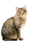 Cat on white Royalty Free Stock Image