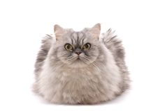 Cat on white Royalty Free Stock Images