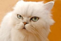 Cat white Stock Photos