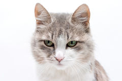 Cat on white. Grey with white cat on white Stock Images