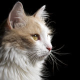 Cat white. Home cat white on black background Royalty Free Stock Photography