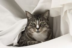 Cat In White. Tabby cat draped in a white sheet Royalty Free Stock Images