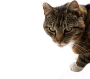 Cat on white. Royalty Free Stock Photos