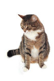 Cat on white background. Adult cat isolated on white background close up Royalty Free Stock Images