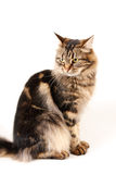 Cat white background. Cat on white background; Scene Stock Image