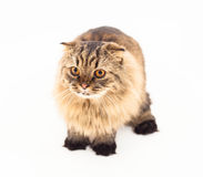 Cat  on white background. Cat in closeup picture on white background Royalty Free Stock Photo
