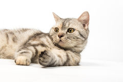 Cat on white background Royalty Free Stock Images