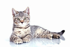 Cat on white background. Cat on white background Royalty Free Stock Images