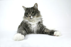 Cat on White Background. Green eyed Cat Sitting on White Background with paws extended Royalty Free Stock Images