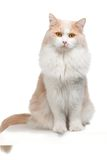 Cat on a white background Royalty Free Stock Image