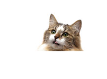 Cat on a white background sits behind a white banner Royalty Free Stock Photos