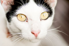 Cat. A white and black cat's  looking to me Royalty Free Stock Photos