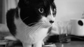 Cat, White, Black, Whiskers Royalty Free Stock Photos