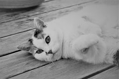 Cat, White, Black And White, Whiskers Stock Image