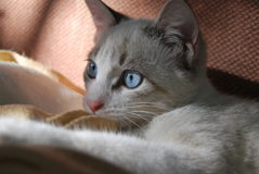 Cat. White cat with blue eyes Royalty Free Stock Images