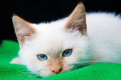 Cat. White cat with blue eyes Royalty Free Stock Photos
